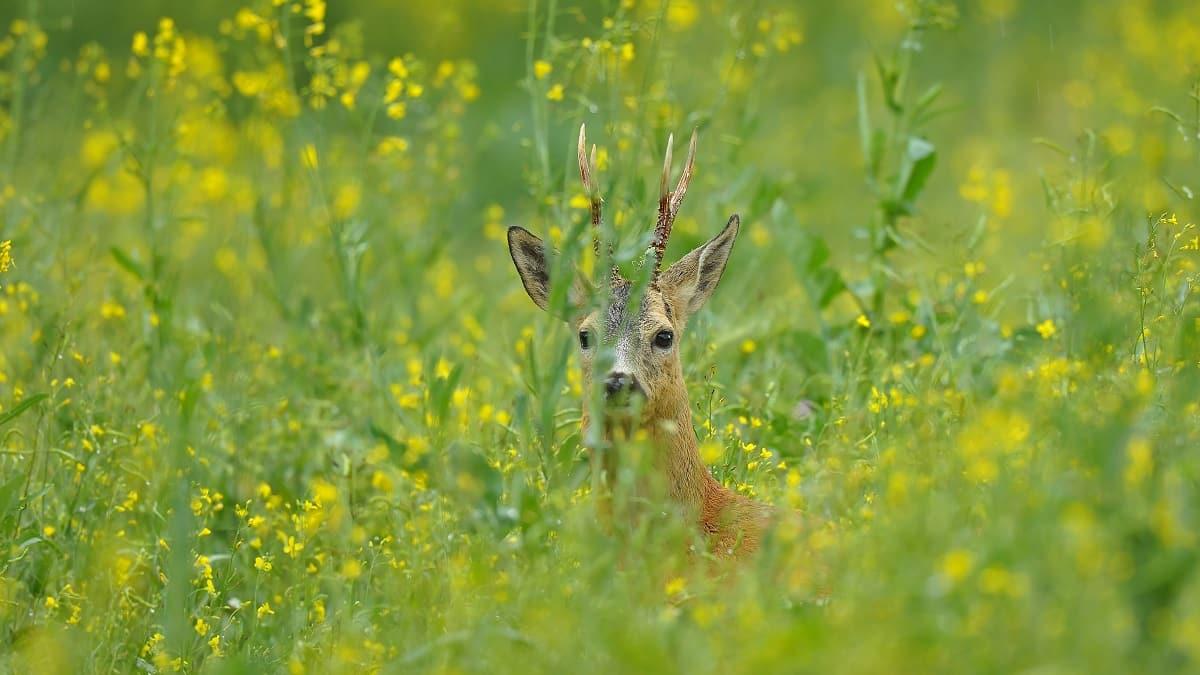 Si tu coto de caza está en otra provincia, olvídate de corzos y jabalíes hasta junio