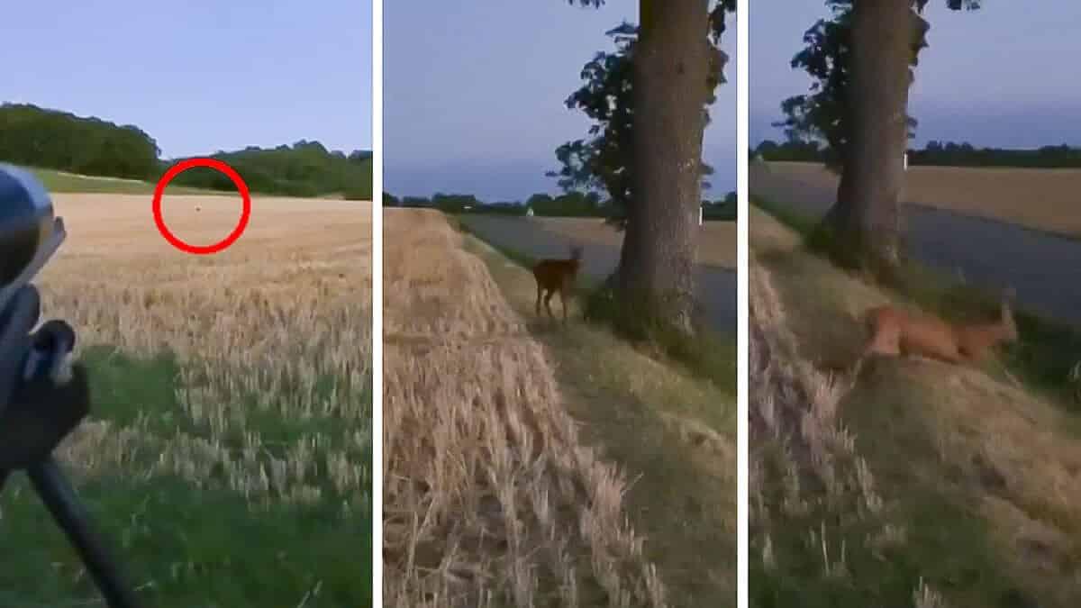 Este cazador es capaz de atraer a este corzo a tan solo cinco metros con su hábil reclamo
