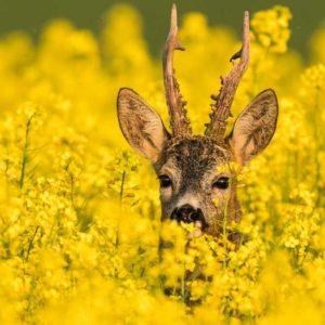 Consejos para cazar corzos en junio tras el Covid-19