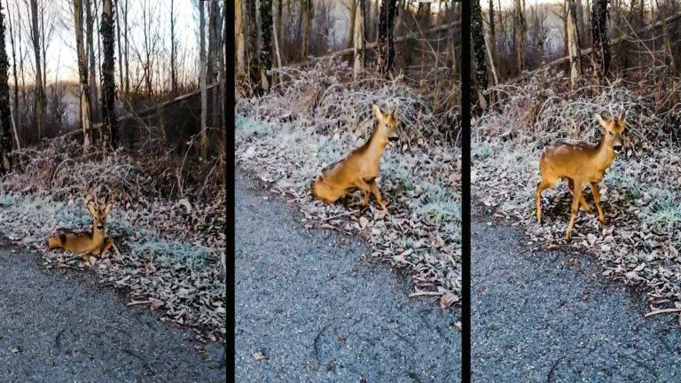 El corzo, en el vídeo grabado por el cazador. @Innova Ediciones