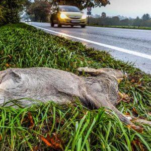 Si encuentro un corzo o un jabalí atropellado en la carretera... ¿Puedo llevármelo?