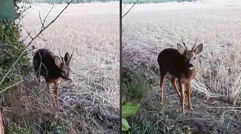 Este corzo se encuentra cara a cara con un cazador (sin saberlo)