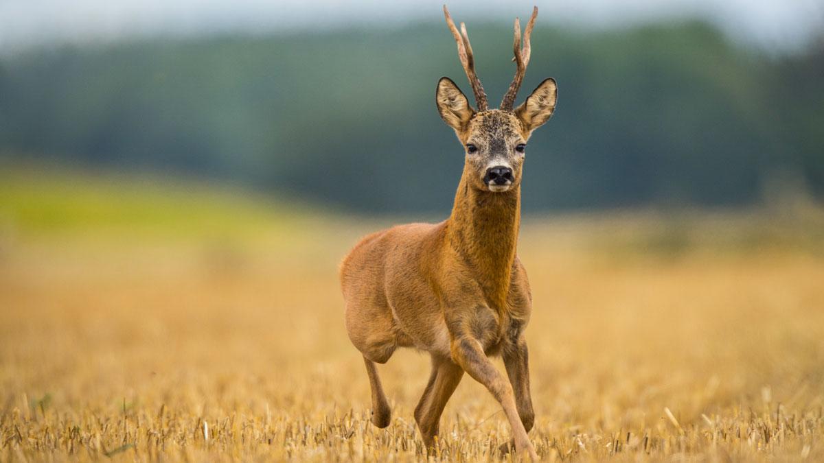 La caza del corzo se prorrogará hasta el 16 de agosto en Castilla-La Mancha por el COVID-19