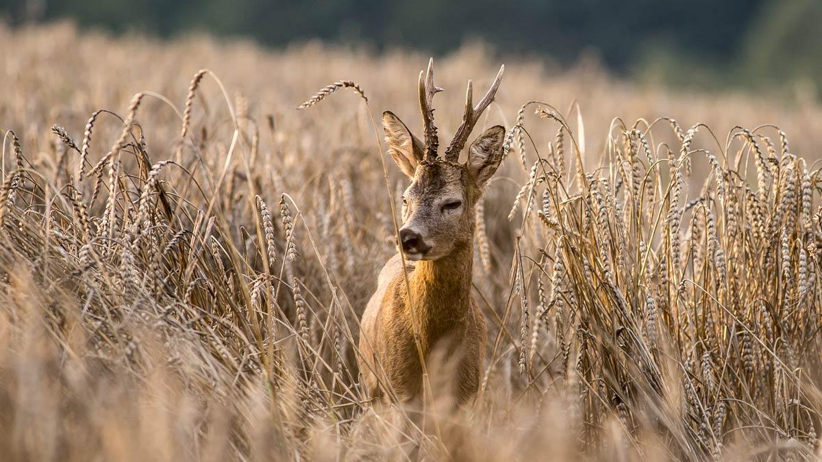 Jabalí, conejo, corzo y otras seis especies se controlarán en Cataluña durante el estado de alarma
