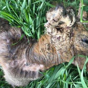 Cazado en Soria un corzo afectado por un grave caso de sarna