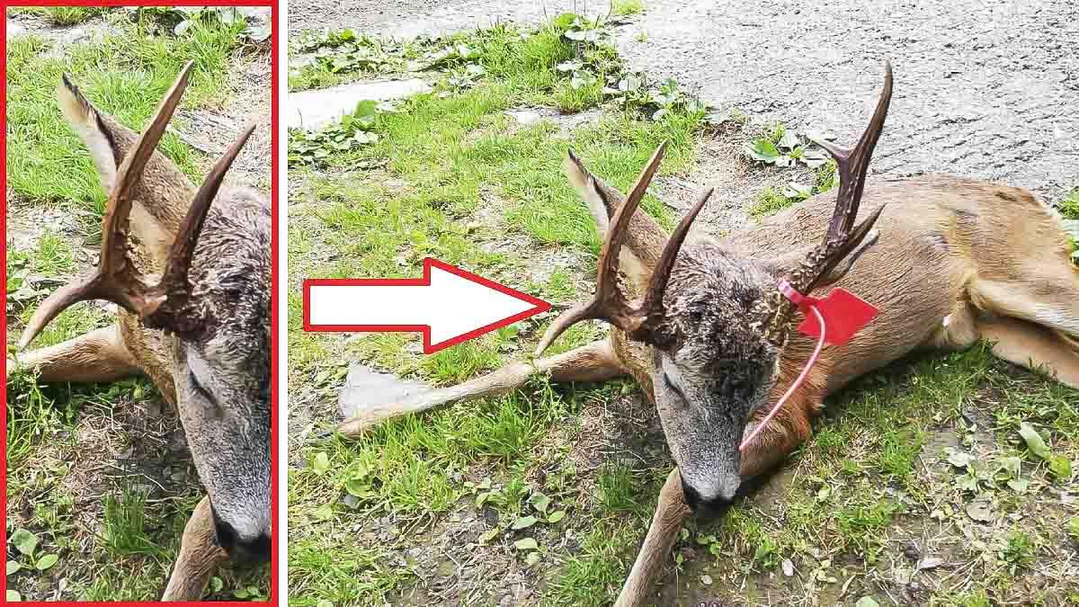 Caza un sorprendente corzo de siete puntas en León