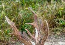 corzo de aragon