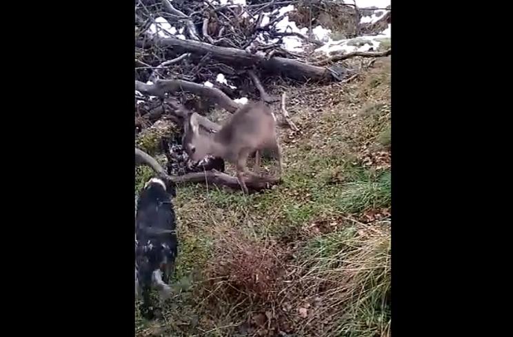 Dos setter se acercan a un corzo y la reacción de este lo hace viral