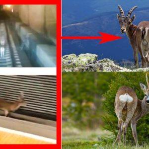 Te explicamos por qué el 'corzo' del metro de Valencia es en realidad un macho montés