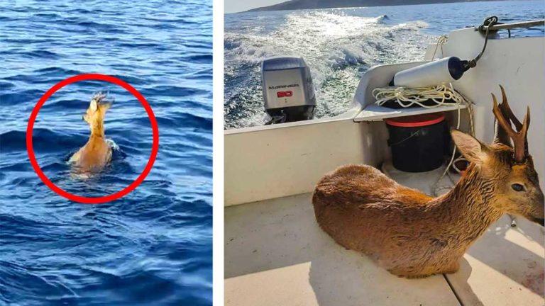 El corzo en el mar antes y después del rescate. / JyS