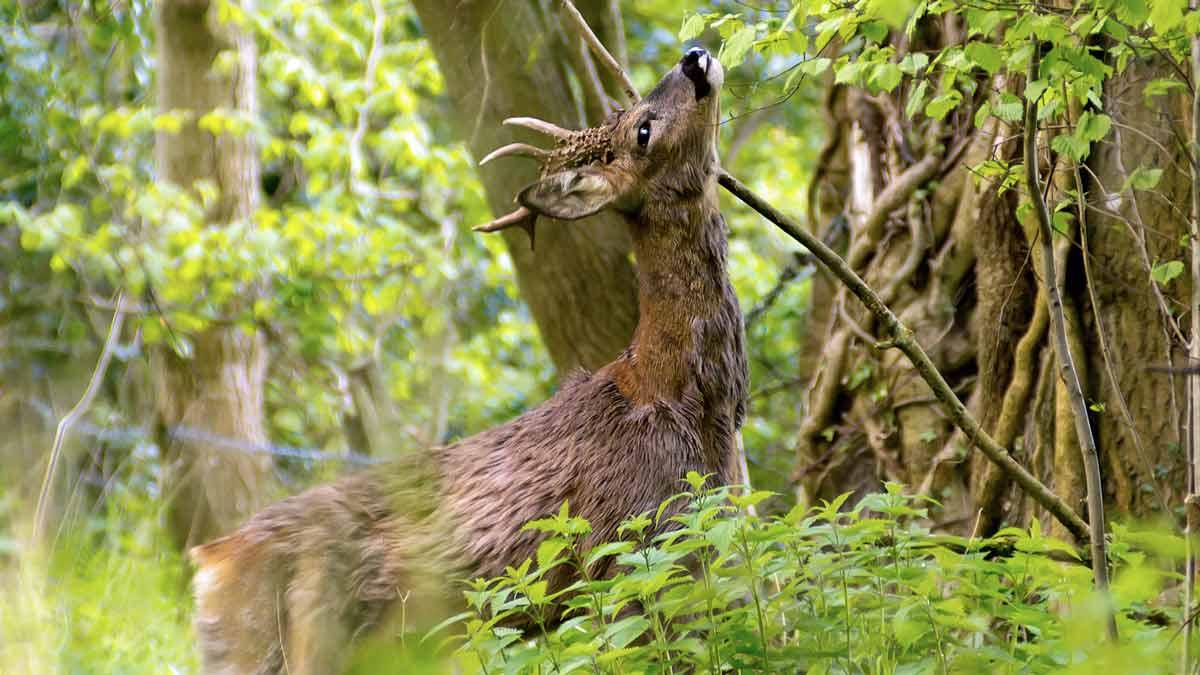 Un corzo ataca a un cazador y su perra le defiende