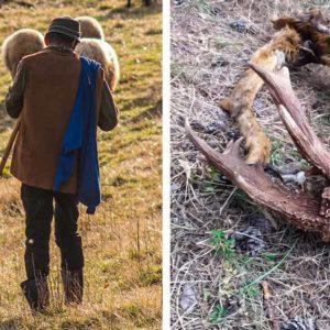 Un pastor halla los restos de un monstruoso corzo en Aragón: «Murió de viejo»