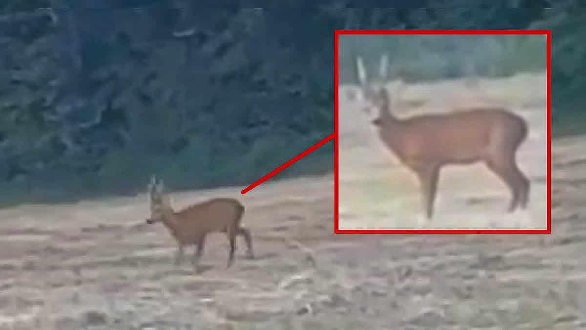 Un corzo entra al puesto de este cazador pero no le tira ¿tú qué habrías hecho?