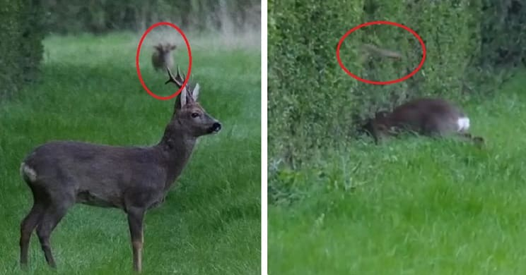 Un corzo adulto pelea con otro más joven y lo mata