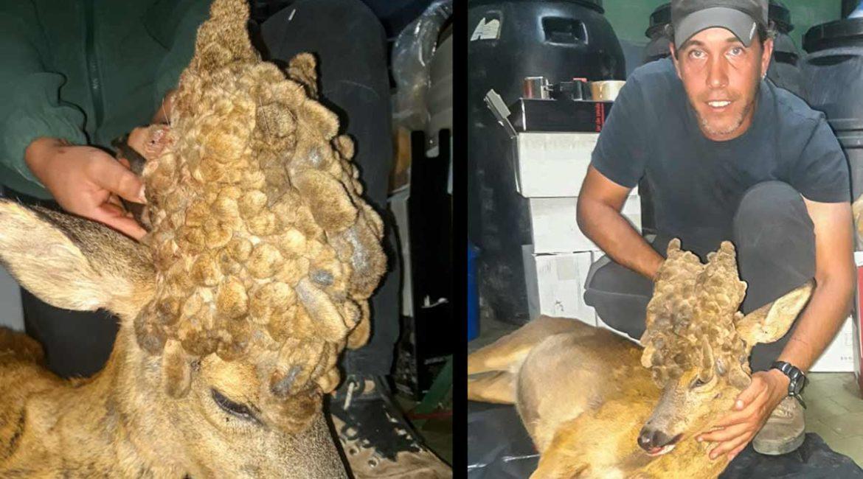 Caza un espectacular corzo peluca en un coto social de Álava junto a su hijo
