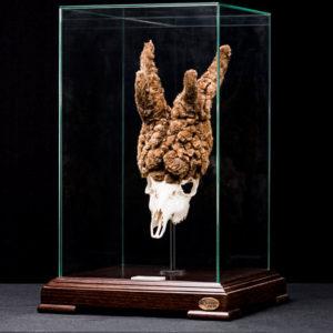 Así de impresionante es el trofeo del corzo peluca cazado durante la cuarentena