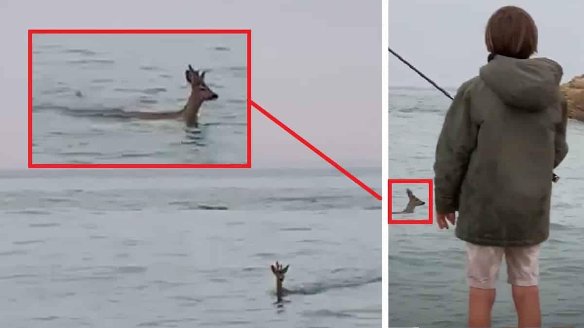 Está pescando en el mar cuando ve a un extraño animal nadar hacia la orilla… ¡es un corzo!