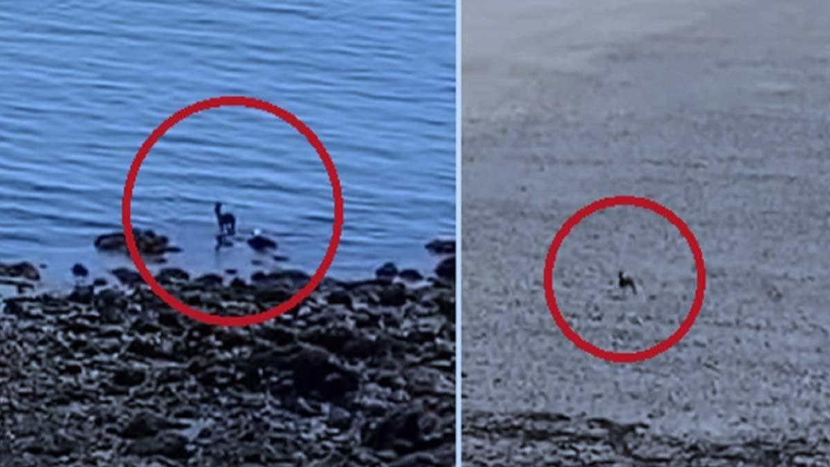 Graba a un corzo corriendo por la playa desde su casa en pleno confinamiento
