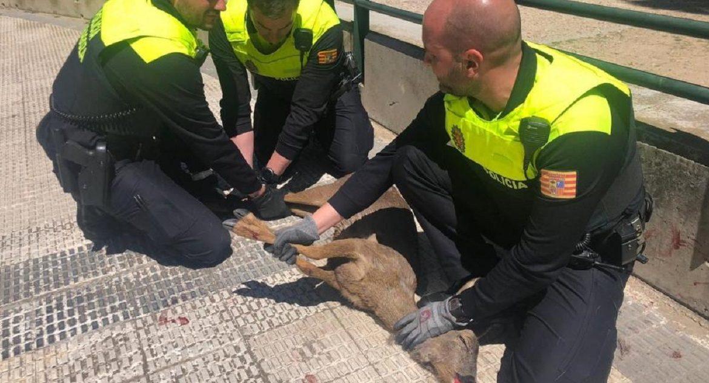 Rescatan un corzo herido que deambulaba por las calles de Zaragoza