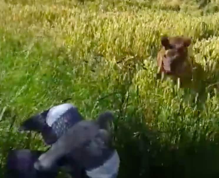 Una pareja de corzos le atropella ¡mientras cazaba palomas!
