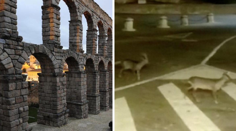 Coronavirus: Graban a dos corzos paseando junto al acueducto de Segovia