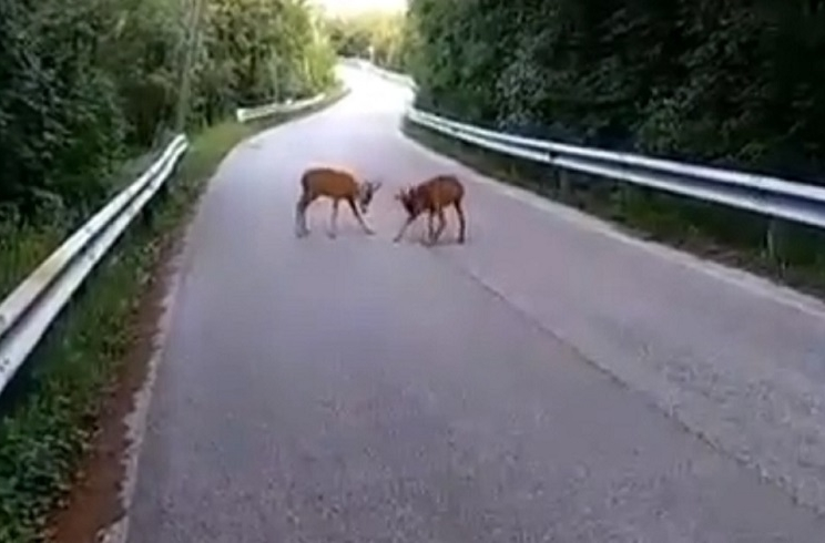 Graban a dos corzos peleando en medio de una carretera