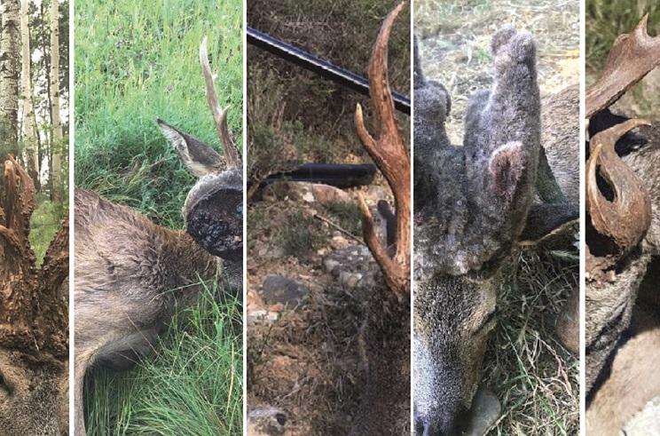 10 corzos extraordinarios que te gustaría cazar esta temporada