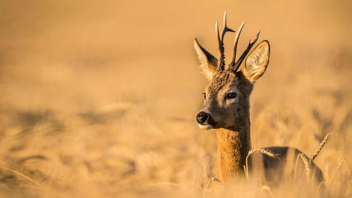 Estos fueron los 11 corzos más raros cazados en España en 2020