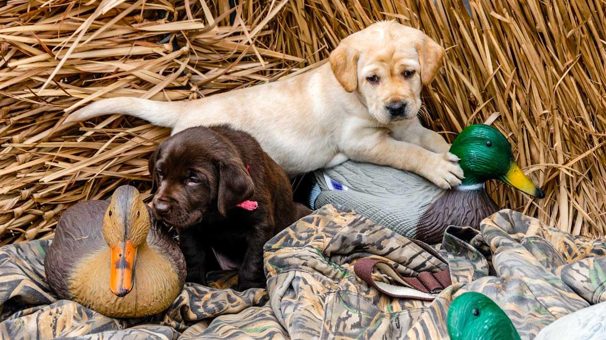 Cuatro cosas que debes saber antes de tener tu propio perro de caza