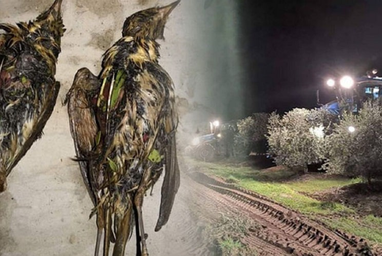 La recogida nocturna de la aceituna podría estar acabando con millones de zorzales