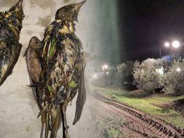 cosecha nocturna del olivar mata millones de migratorias