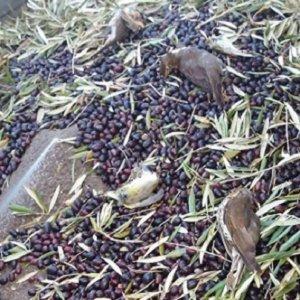 Prohíben la recogida nocturna de la aceituna que podría acabar con millones de zorzales