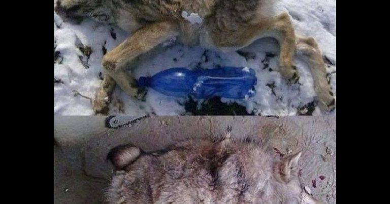 coyote como diablo de tasmania 2