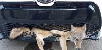 coyote sobrevive