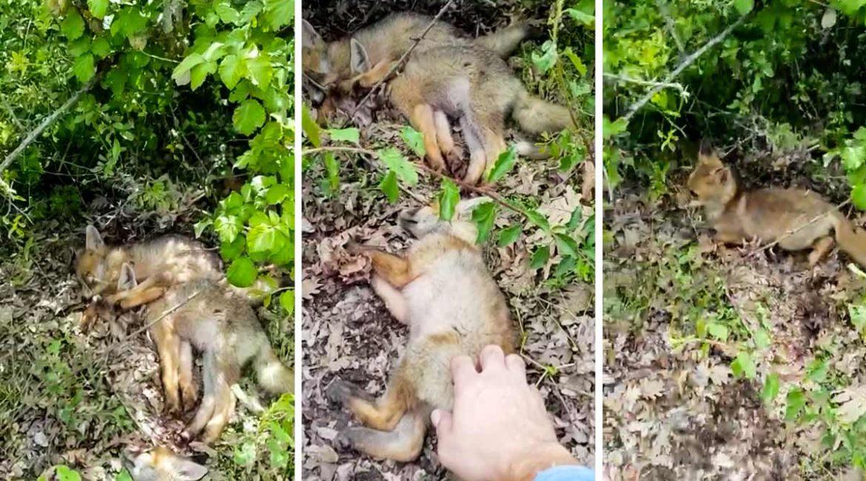 Tres crías de zorro duermen como un tronco cuando un hombre se acerca a ellas