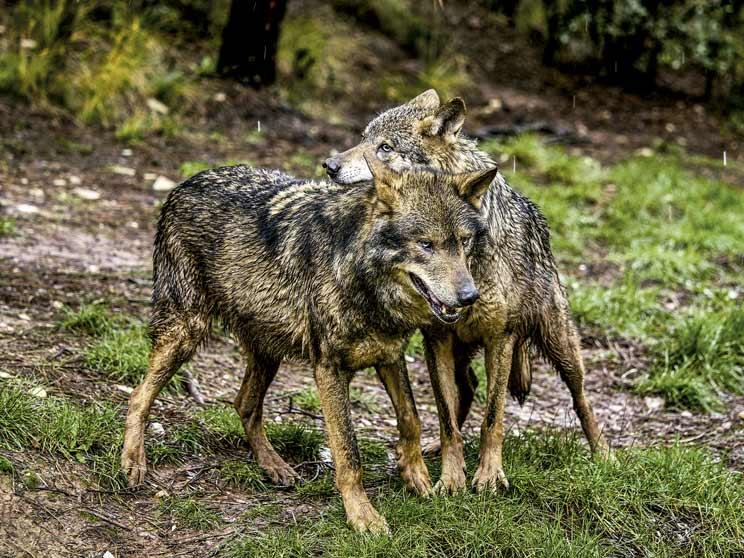 J. R. de Camps: «El cazador es imprescindible en la cohabitación entre ganaderos y lobos»