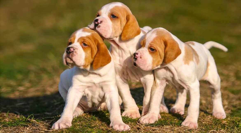Reproducción canina: cuándo y cómo criar cachorros de tu perra de caza