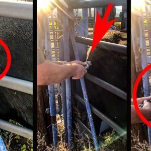Extraen una cuerna de ciervo que una vaca tenía clavada hasta la roseta