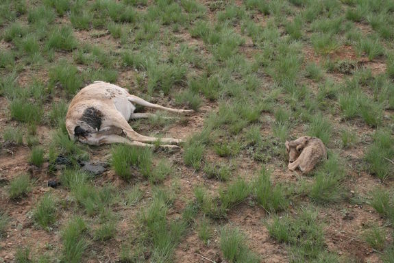 dead-mother-baby-saiga