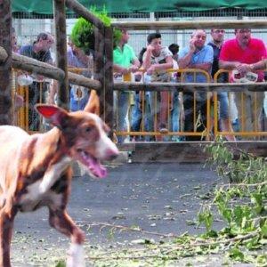 El dueño de un podenco que mató a dos conejos en una feria de caza será juzgado