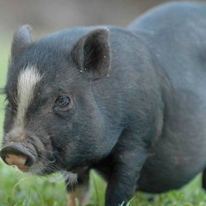 El cerdo vietnamita deja de ser considerado como mascota en España