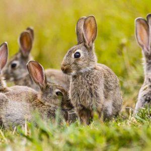 Conejos en descaste: ¿Cómo sé si debo cazarlos en mi coto?