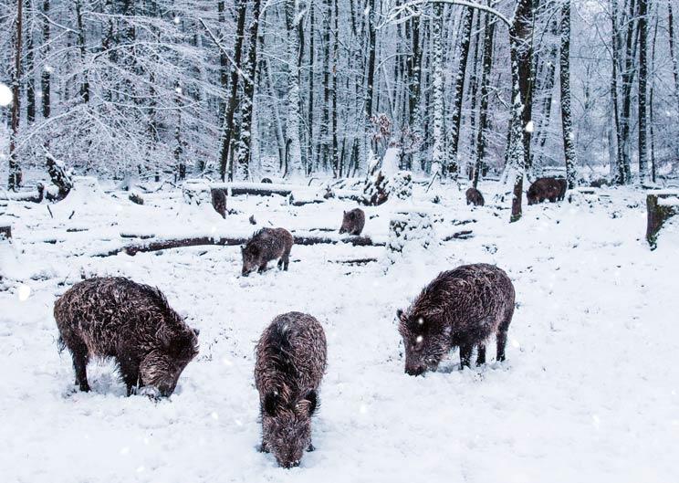 Dinamarca construirá una valla contra la peste porcina en la frontera alemana