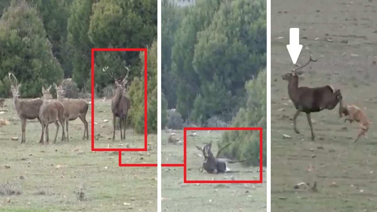 Intenta cazar a un ciervo en una montería pero la bala le da en una cuerna