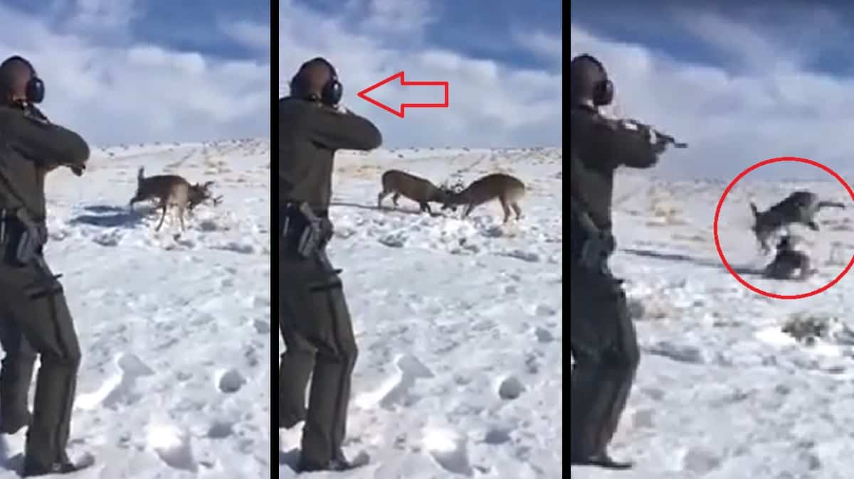 Un hombre se encuentra a dos ciervos con sus cuernas enredadas ¡y dispara!