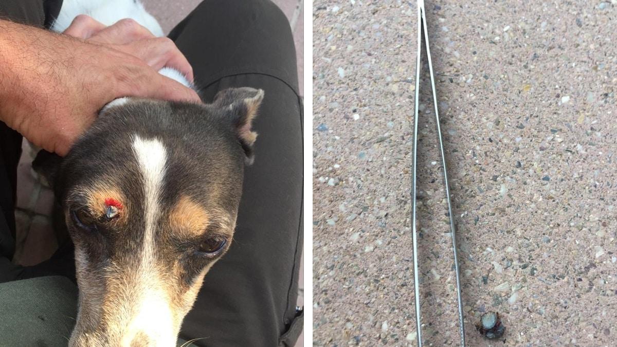 Disparan en la cabeza al perro de un cazador: «La persona que lo hizo sabía dónde apuntaba»