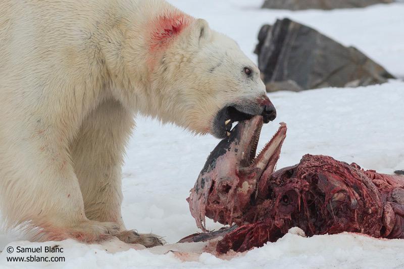 Primeras imágenes de un oso polar comiéndose un delfín