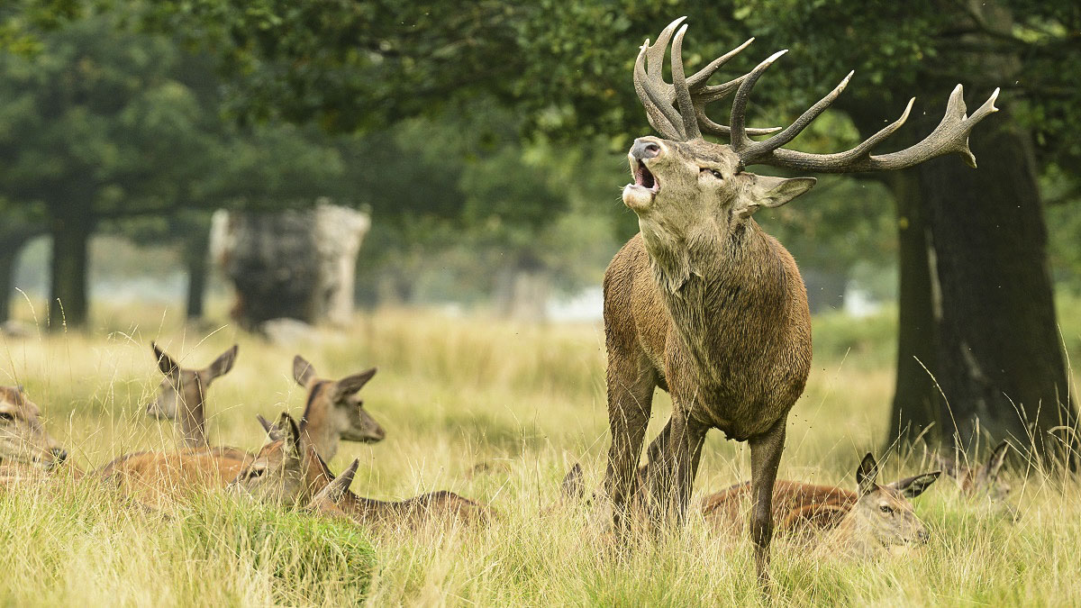 ¿Dónde ver la berrea del ciervo en España?