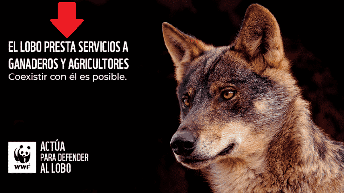 Los ecologistas afirman que el «el lobo presta importantes servicios a ganaderos y al mundo rural»