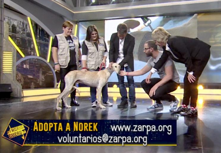 El programa 'El Hormiguero' muestra un galgo con dueño como perro en adopción